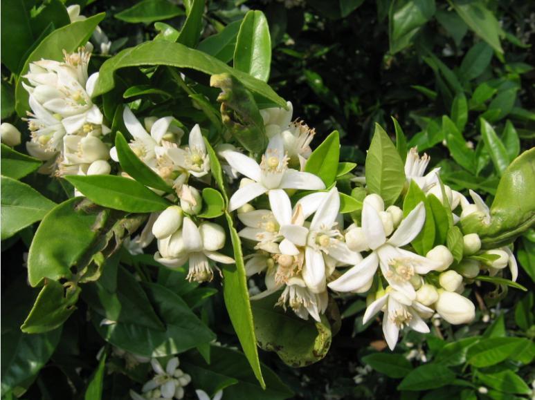 rutes a peu entre citrics florits
